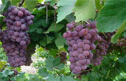 牡丹江红巴拉多葡萄水果新鲜